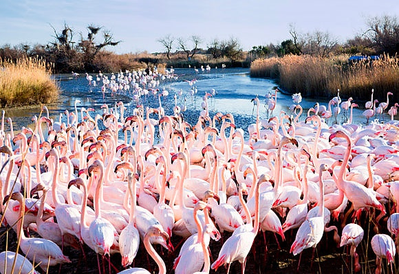 Pink Flamingoes in the Camargue Images of Provence by Sandra Raccanello