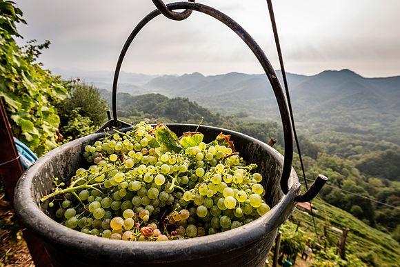 New Images > Harvest time In the vineyards of Prosecco for the grape harvest
